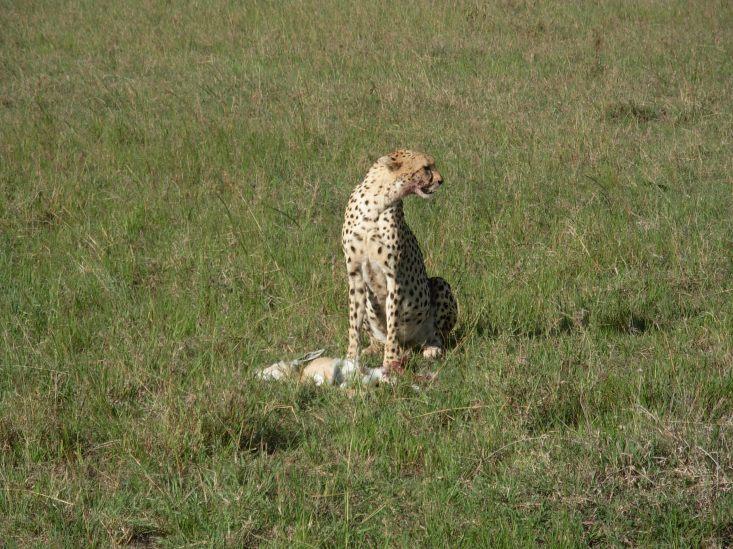 Keniassa Masai Marassa Gebardi lounaalla