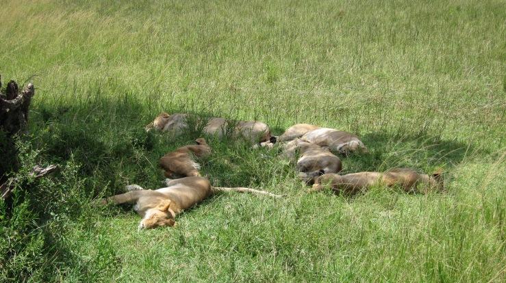 Isoja kissoja päiväunilla Masai Marassa Keniassa.